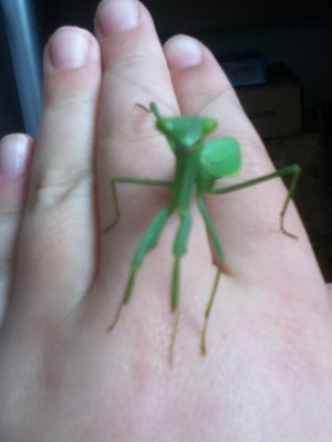 SA praying mantis 1(1)