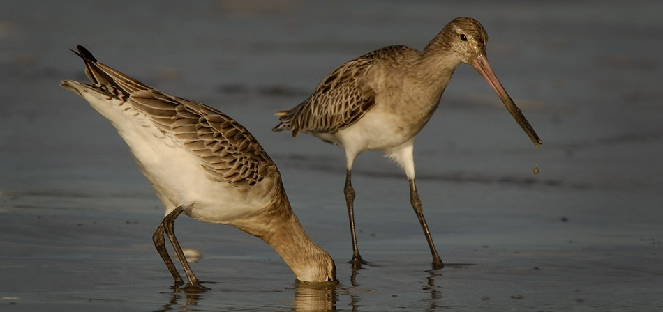 A bar-tailed godwit uses its long beak to probe in the mudflats, looking for food Photo by Craig McKenzie).
