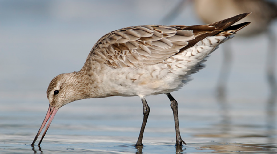 The Bar-Tailed Godwit