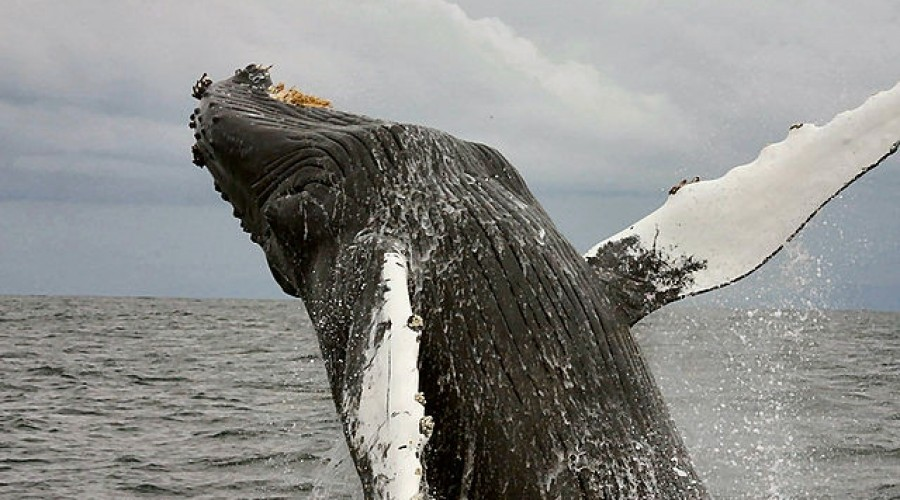 Uncovering the mystery of the humpback whale.