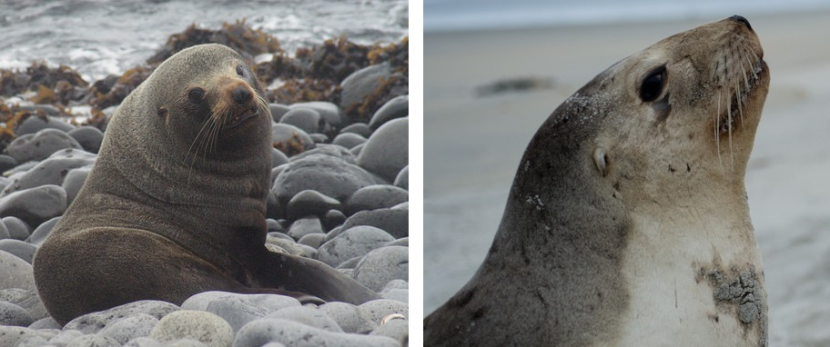 A fur seal (left) and sea lion (right).