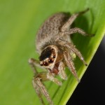 A female jumping spider (Hypoblemum)