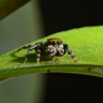 A male jumping spider (Hypoblemum). Photo Fiona Cross