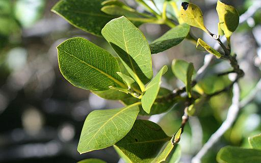Leaves of mangrove Avicennia marina subsp. australasica, Paihia, Bay of Islands, New Zealand. Photo by Kahuroa