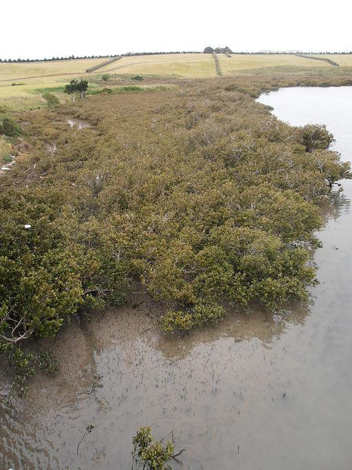 Mangroves at Tamaki River in Manukau NZ at medium tide Sarang