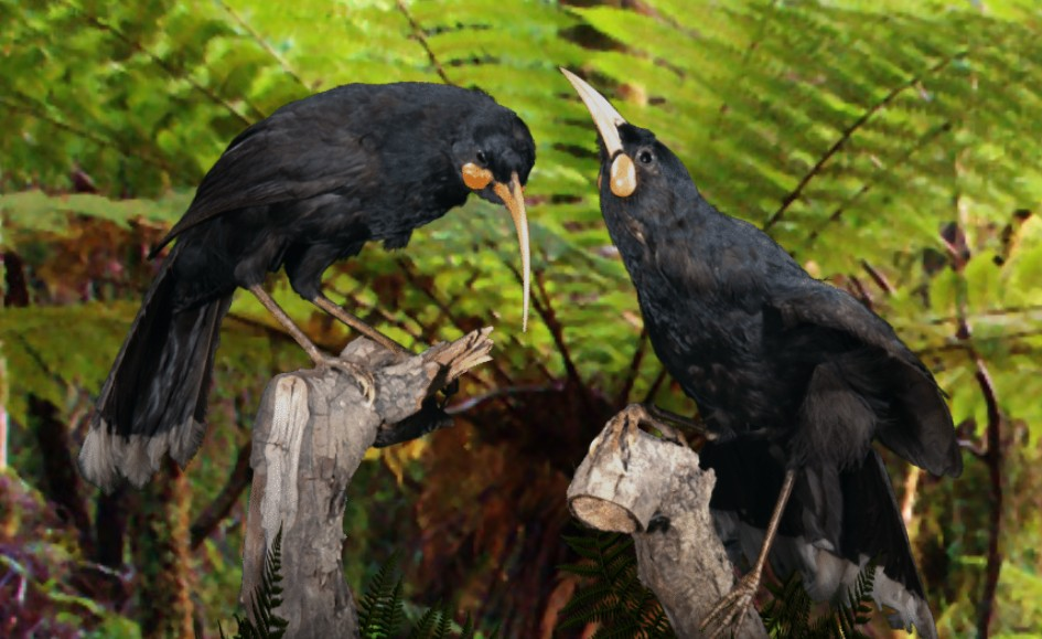 What did the huia bird sound like?