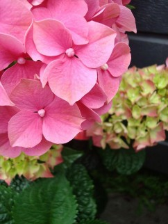 Hydrangea macrophylla Photo by Joanne Bergenwall