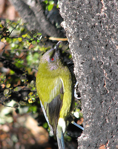 Bellbird feeding on mountain beech honeydew (Wikimedia Commons)