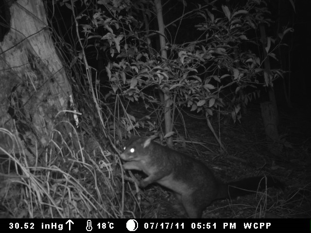 Brushtail_Possum_caught_on_fauna_camera_(8025631217)
