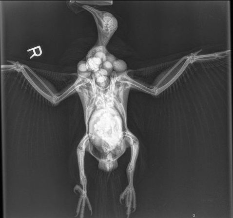 This x-ray of a kererū by the Avian Wildlife Rehabilitation Trust shows how many big berries it can fit in its crop!