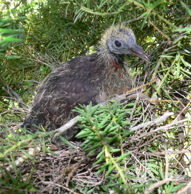 A kererū chick on the nest Photo by Abel Tasman Backpackers)