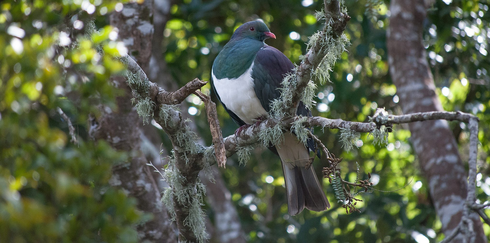 Great Kereru Count