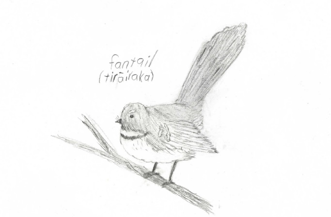 Fantail drawing