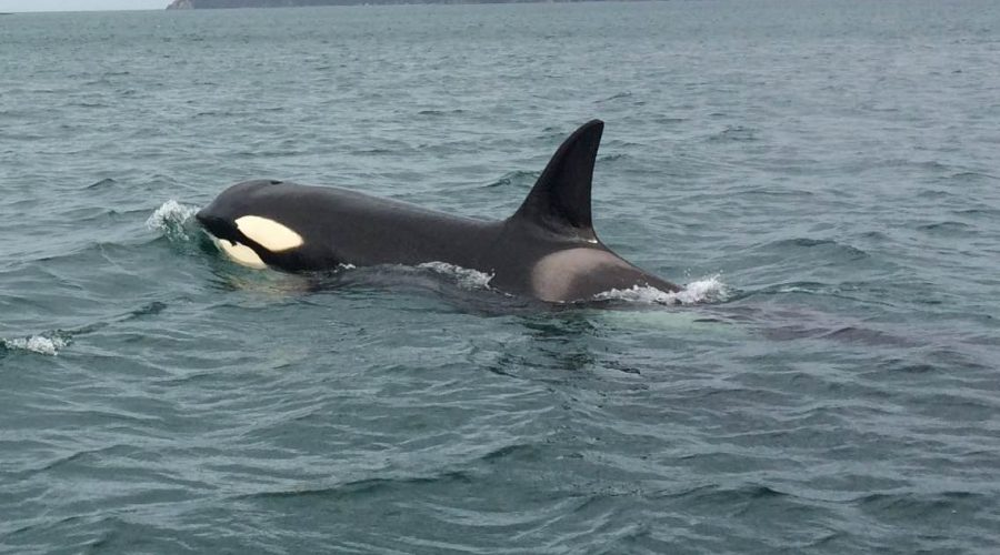 An extraordinary orca encounter