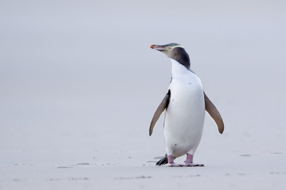 A hoiho, or yellow eyed penguin (Photo by Luuc Hoogenstein)