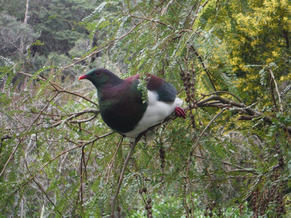 Kererū Photo by Olivia