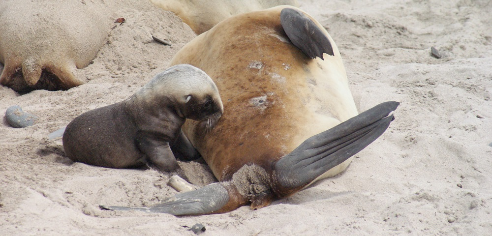 A sea lion pup uckles for the first time