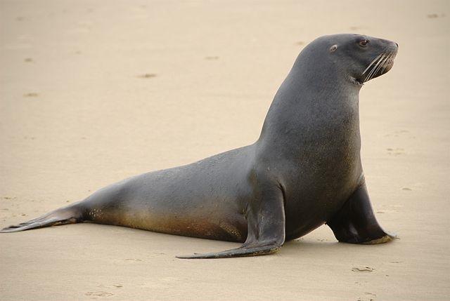 New Zealand sea lion. Photo by Karora