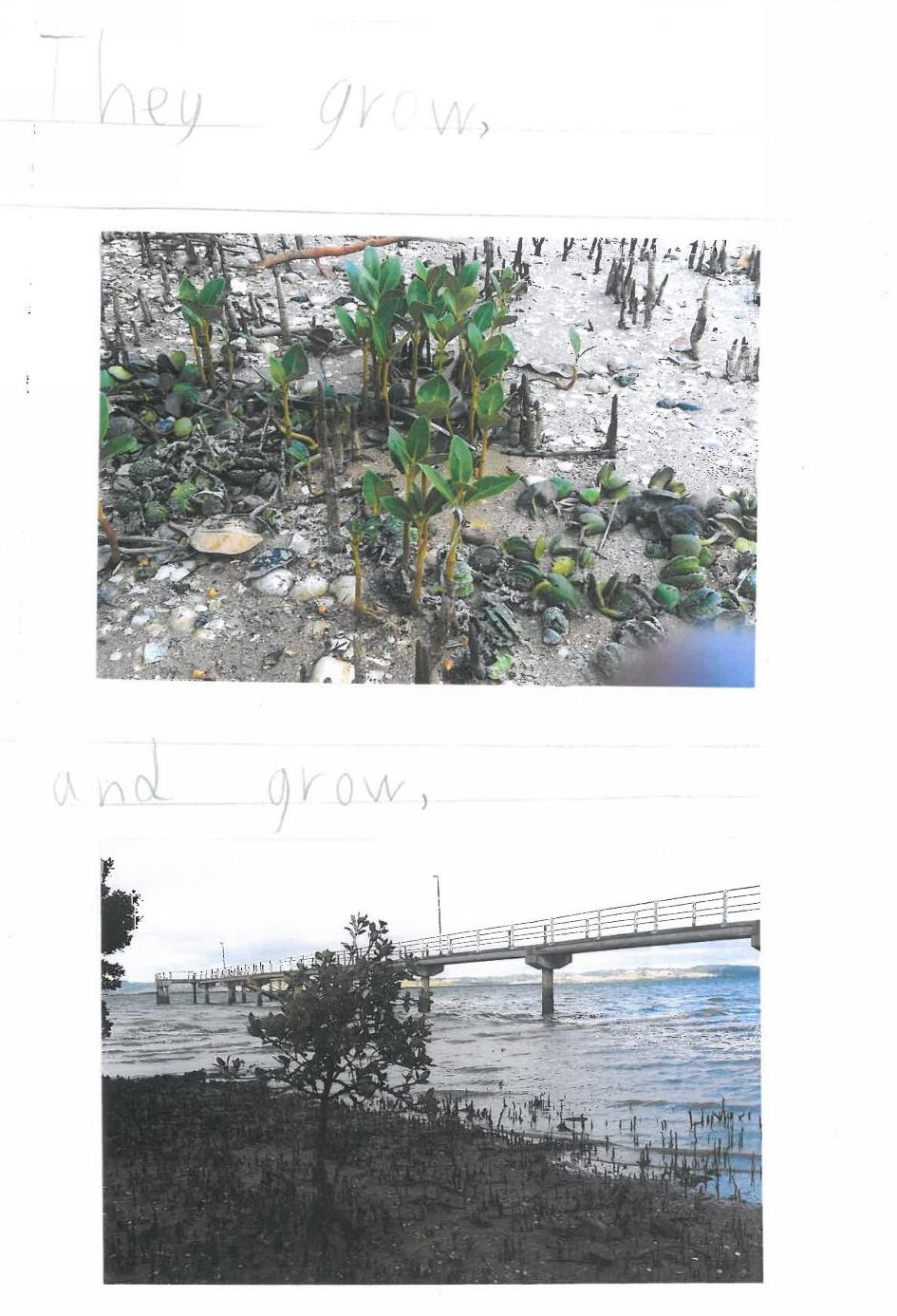 mangrove-story-page-4