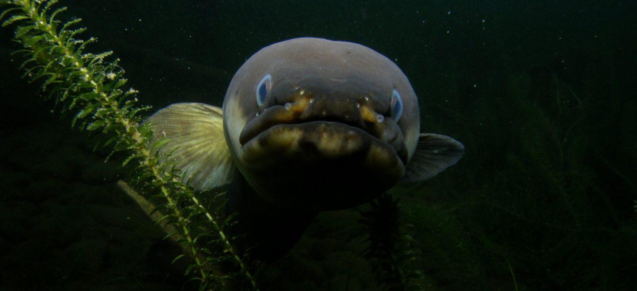 Eel at Lake Rotoiti