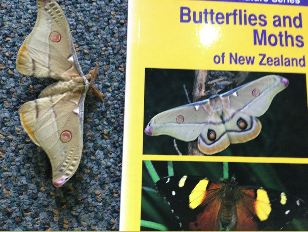 "Lola says: ""Margie and Keith came and helped us identify all the bugs that we found. They also brought some with them including a Emperor Gum moth which was famous because it was on the front cover of one of our field guides!"""