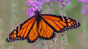 Beautiful Butterflies at West Lynn Gardens