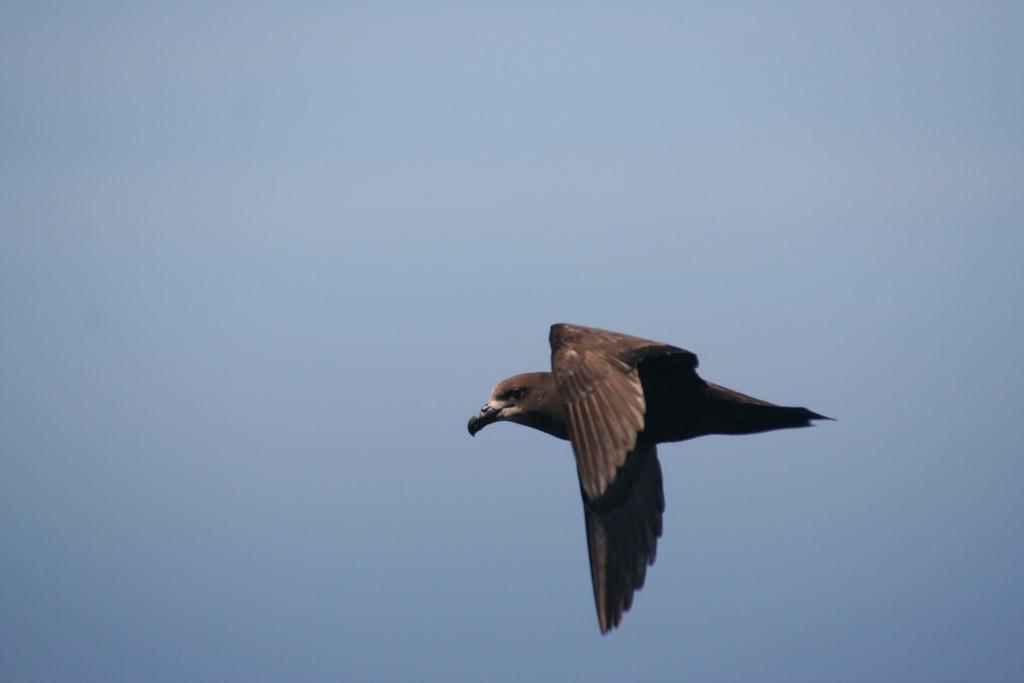 Petrels at Mauao