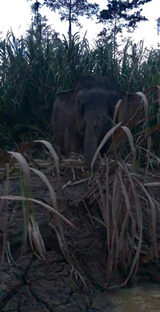 A Borneo pygmy elephant beside the Kinabatangan River at dusk.