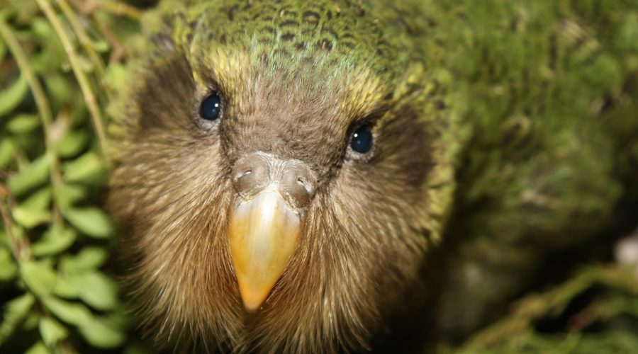 Kākāpō for Bird of the Year!