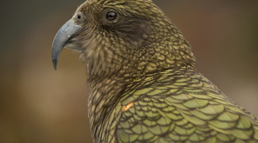 3 Reasons why Kea should be Bird Of The Year