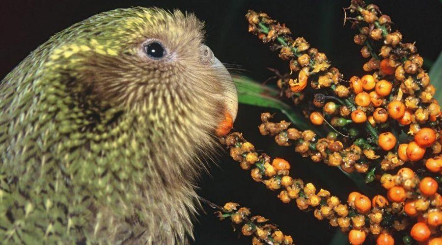 Vote Kākāpō for Bird Of The Year