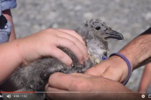 Black-backed gull banding
