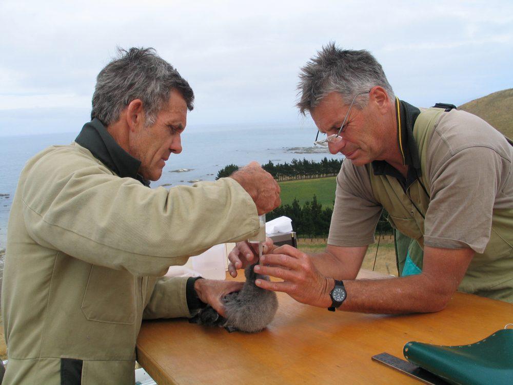 Hand-feeding, ©Hutton's Shearwater Trust