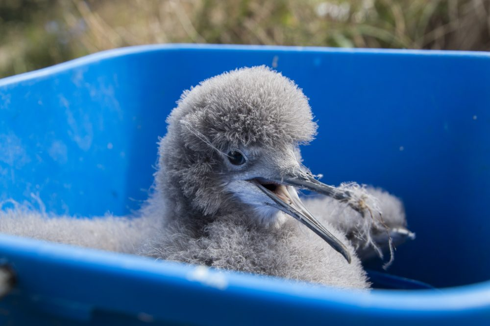 ©Hutton's Shearwater Trust