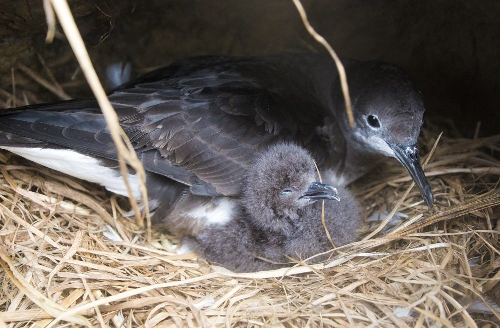 Adult and chick, ©Hutton's Shearwater Trust