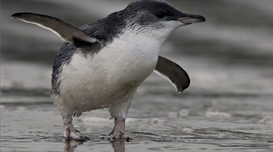The little blue penguin's rescue