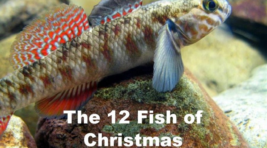 Sing along with the 12 Fish of Christmas