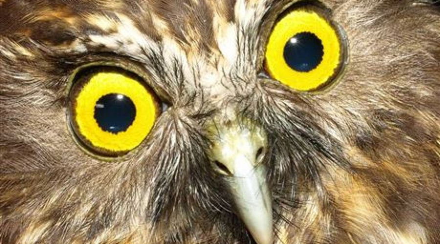 Morepork to the Rescue