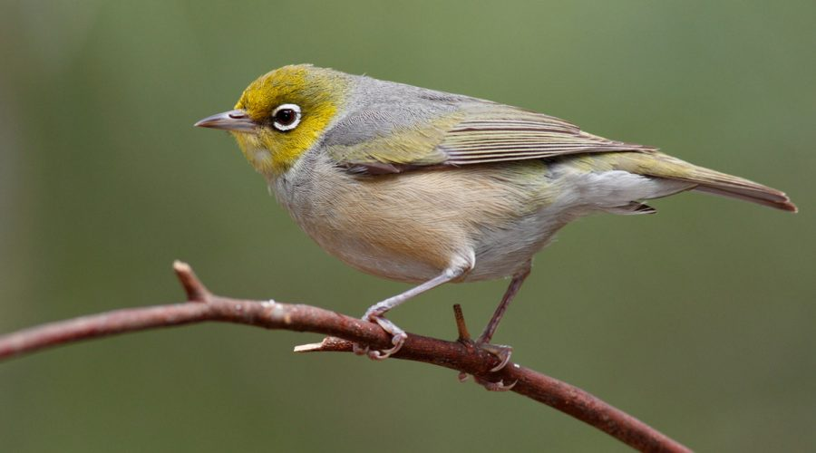 Information on the silvereye