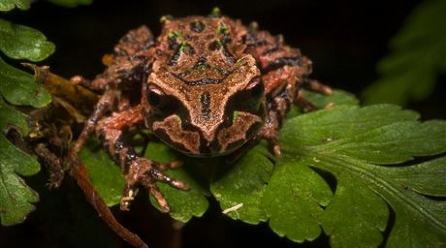 New Zealand's smallest and most endangered frog